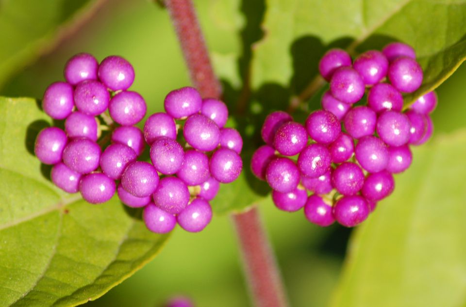Image of berries of beautyberry bush.
