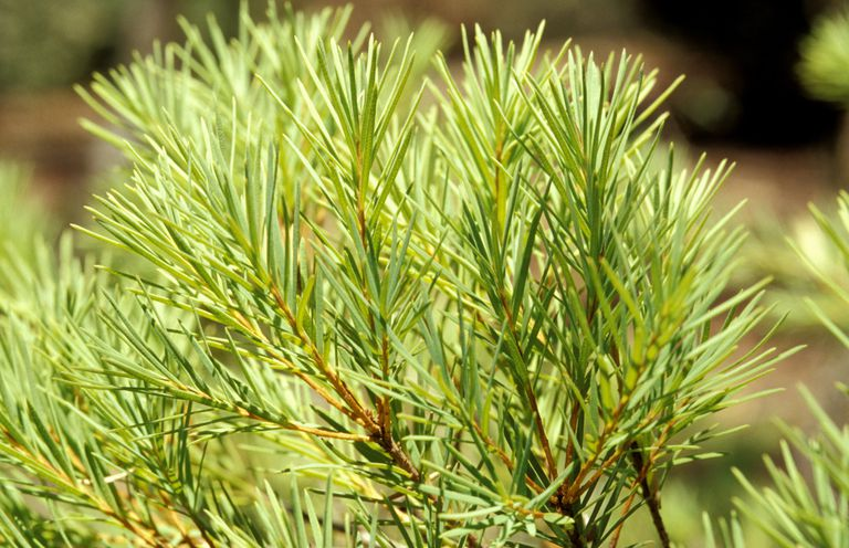 Tea Tree Oil Benefits Anti Fungal Acne Dandruff And More