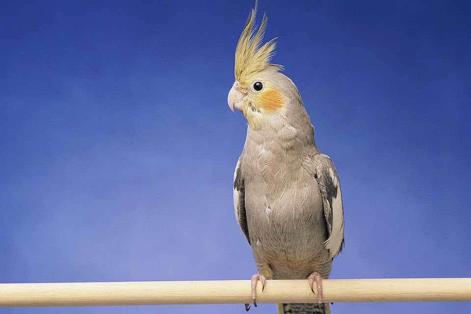 Cockatiel on perch