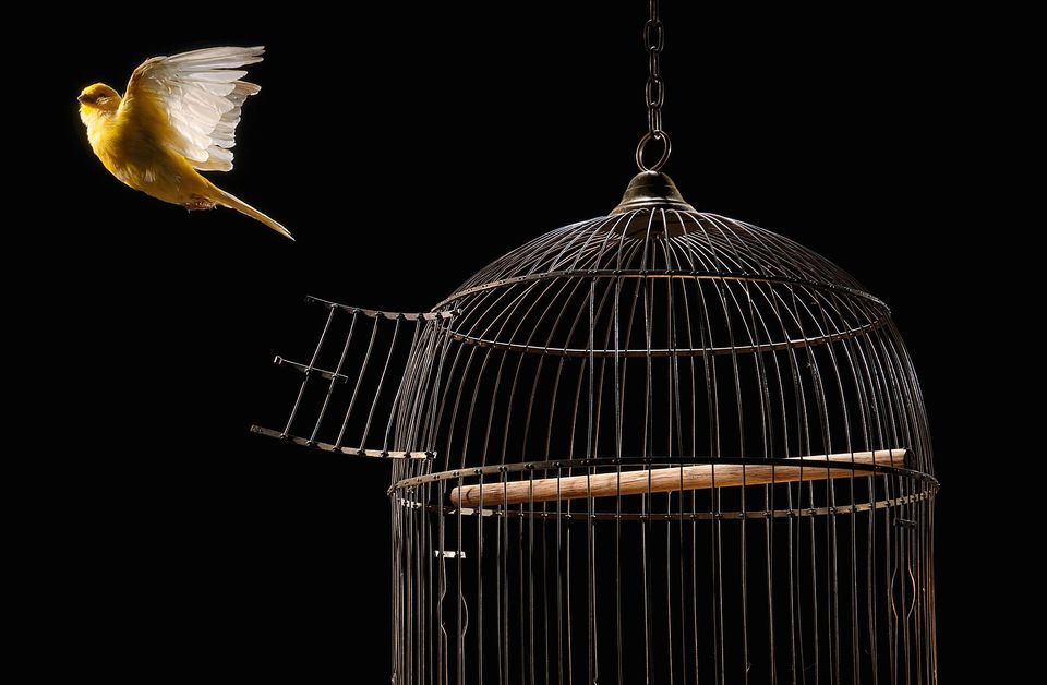 Canary flying out of cage