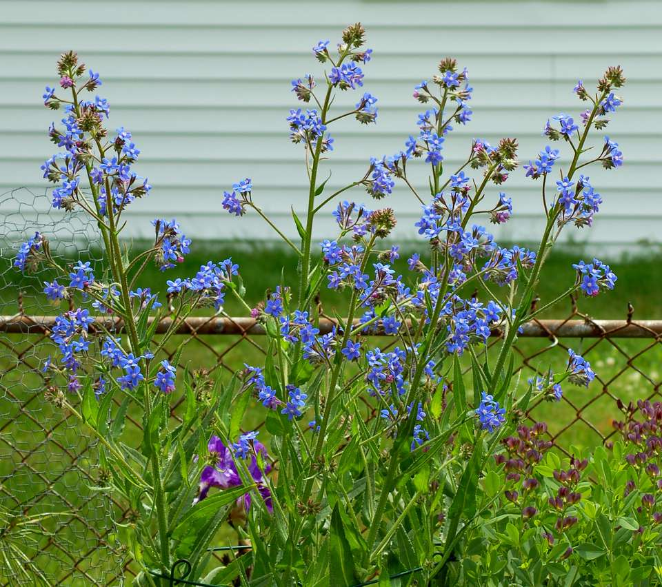 Italian bugloss tall perennial with true blue flowers mightylinksfo Image collections