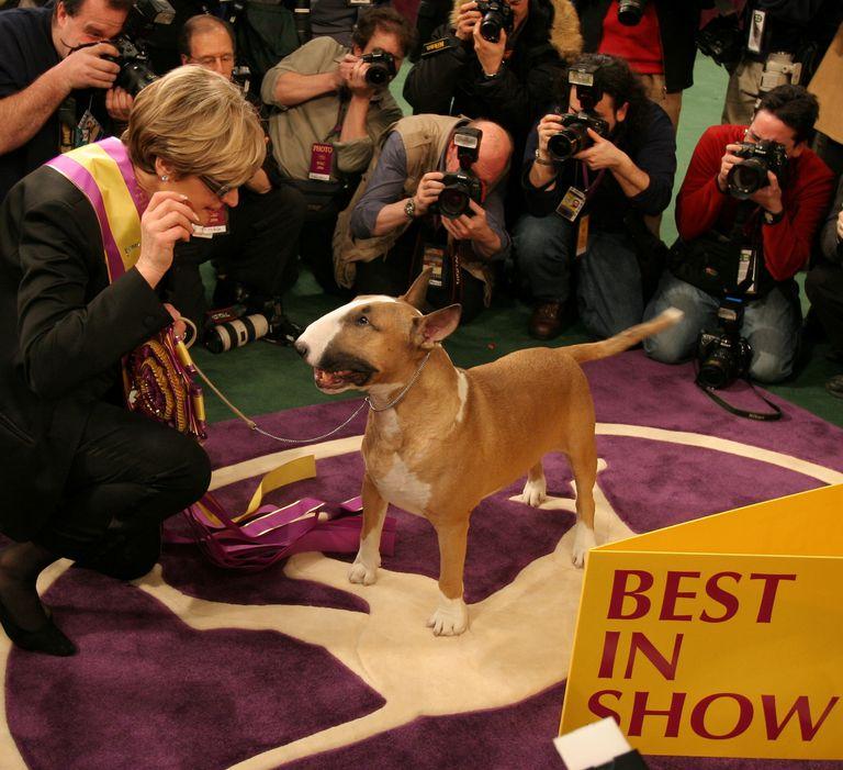 Un bull terrier ganador del Westminster.