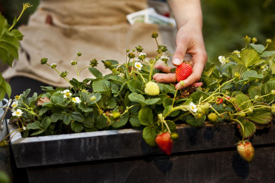 Young woman picking strawberries