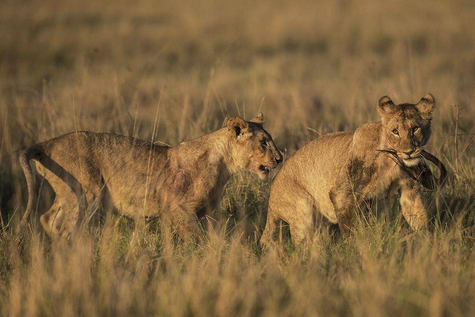 Sub-adult lion cubs playing with a buffalo tail