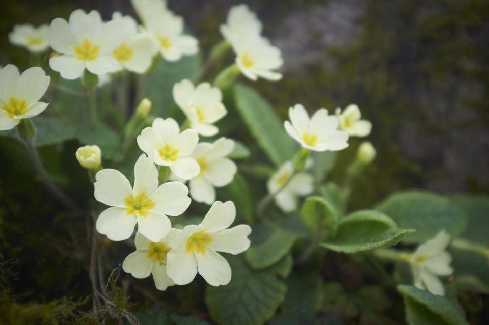 Primroses in countryside
