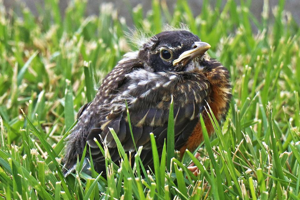 Baby American Robin