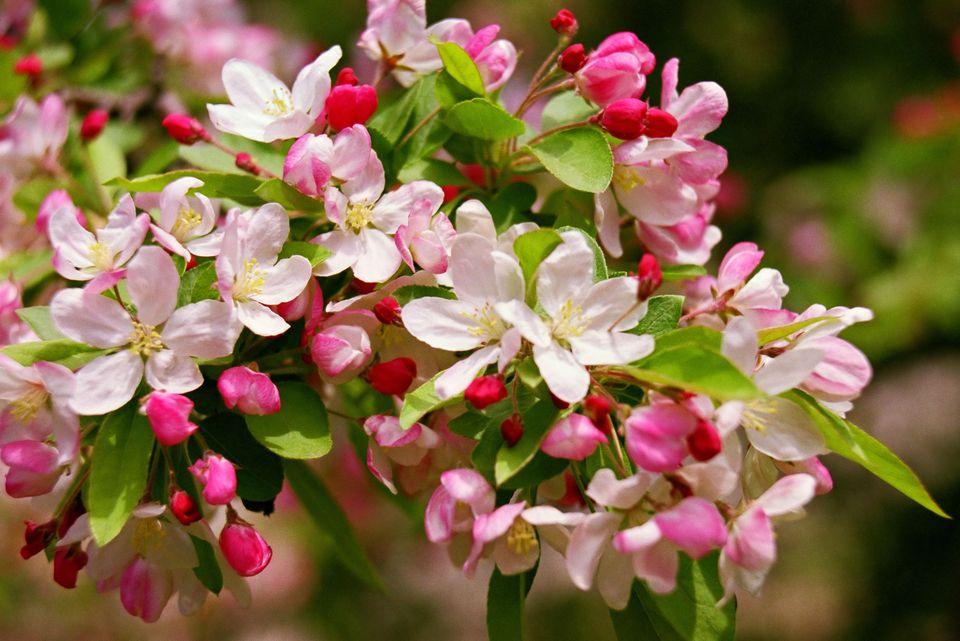 apple-blosson-h.jpg