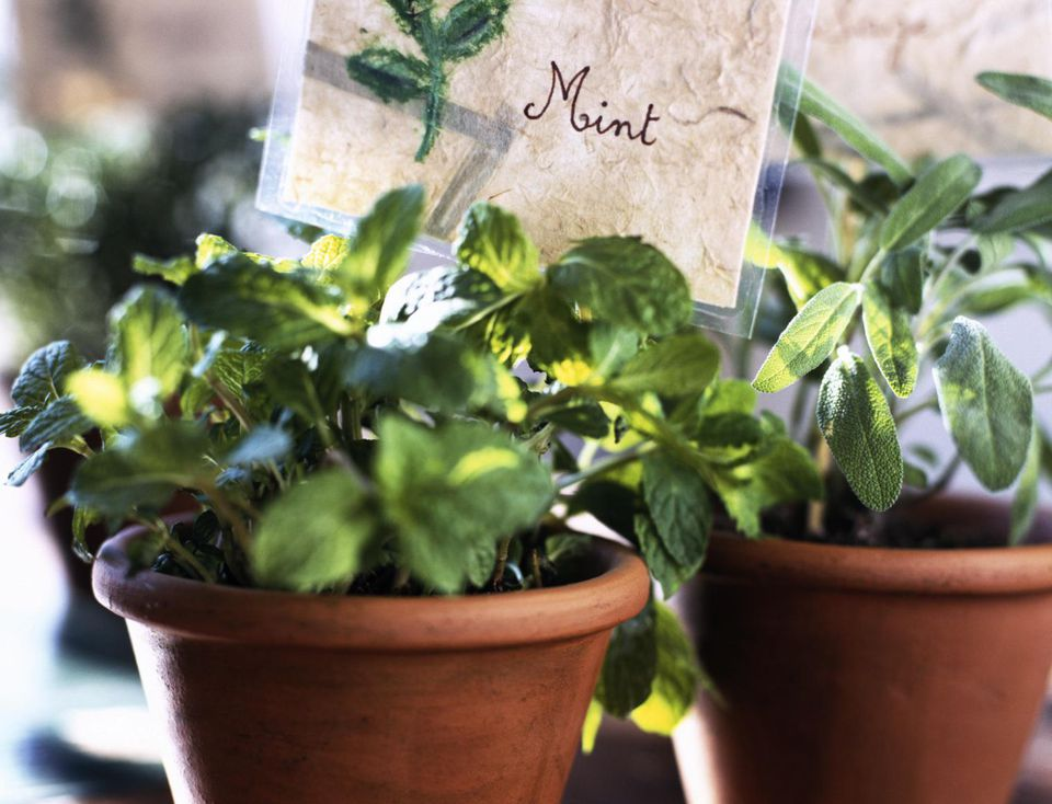 Pots of Mint