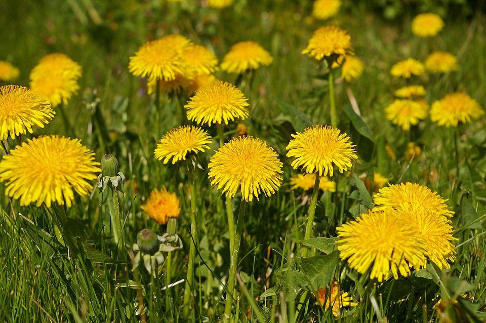 Dandelion flowers growing in field