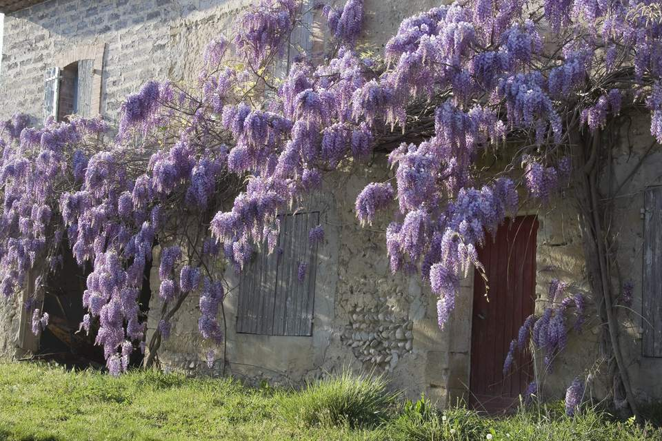 Wisteria growing on a masonry wall.