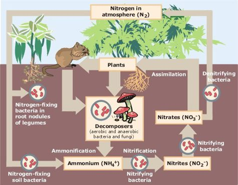 Bacteria are responsible for about 90% of nitrogen fixation.