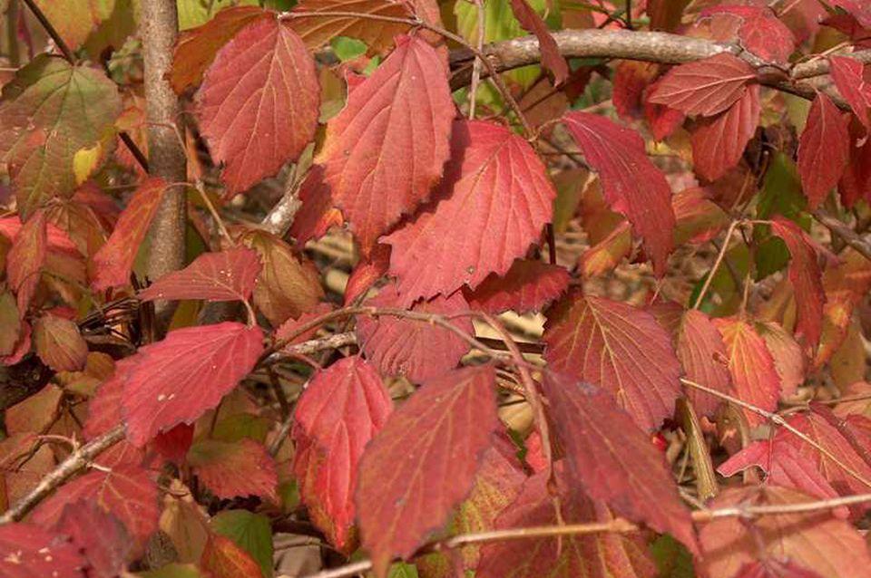 Picture of arrowwood viburnum's fall foliage.