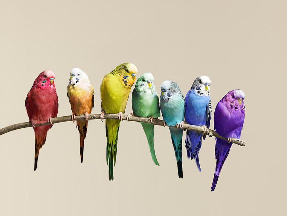 Rainbow row of budgies sat on a branch