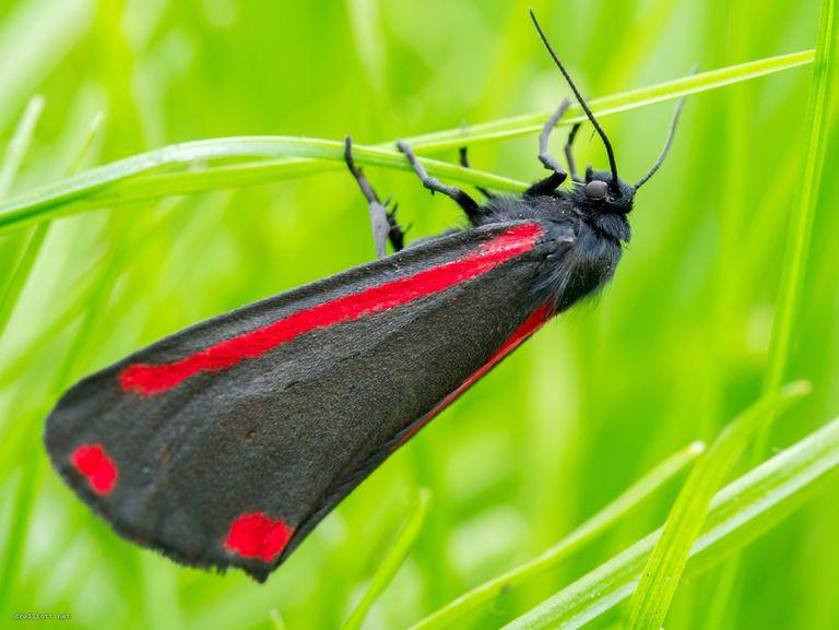 The cinnabar moth.
