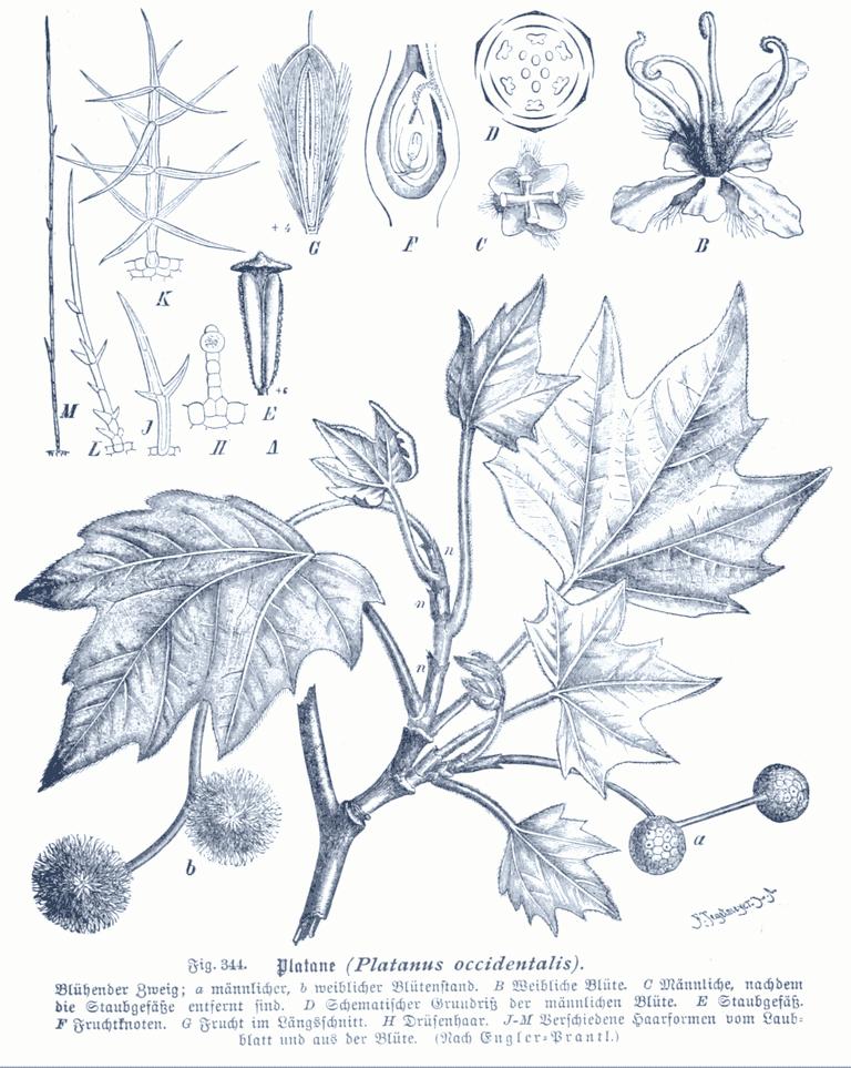Platanus occidentalis GS344
