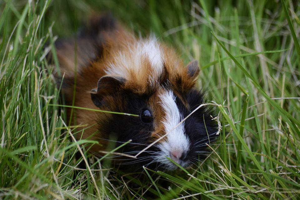 Close-Up Of Guinea Pig Amidst Grass