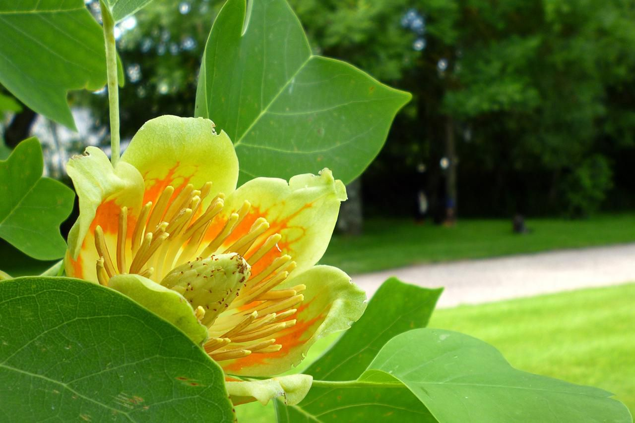 Bathroom Laundry Room Ideas Growing The Tulip Tree In The Home Garden