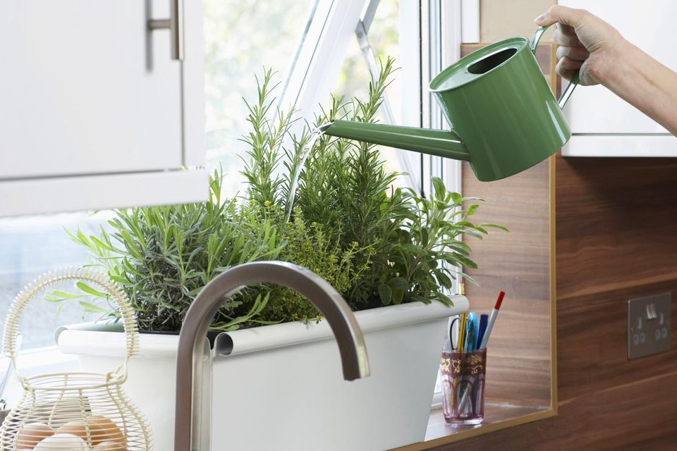person watering herbs growing in pot on kitchen window sill,