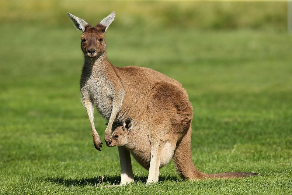 Kangaroo with joey