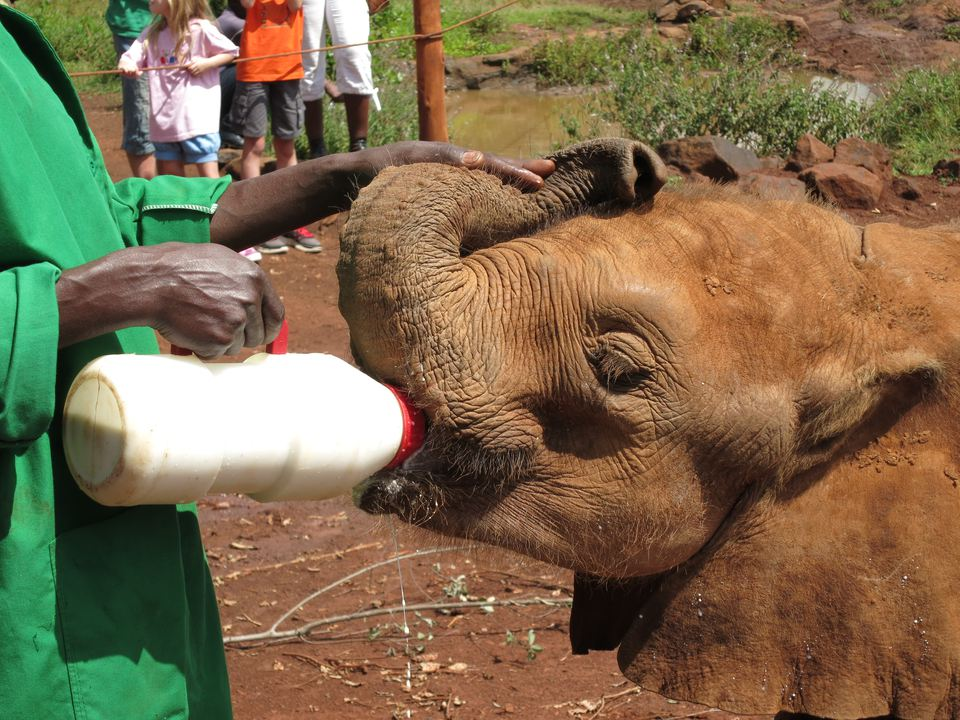 A baby elephant being fed a bottle at the David Sheldrick Trust Elephant Orphanage, Nairobi, Kenya