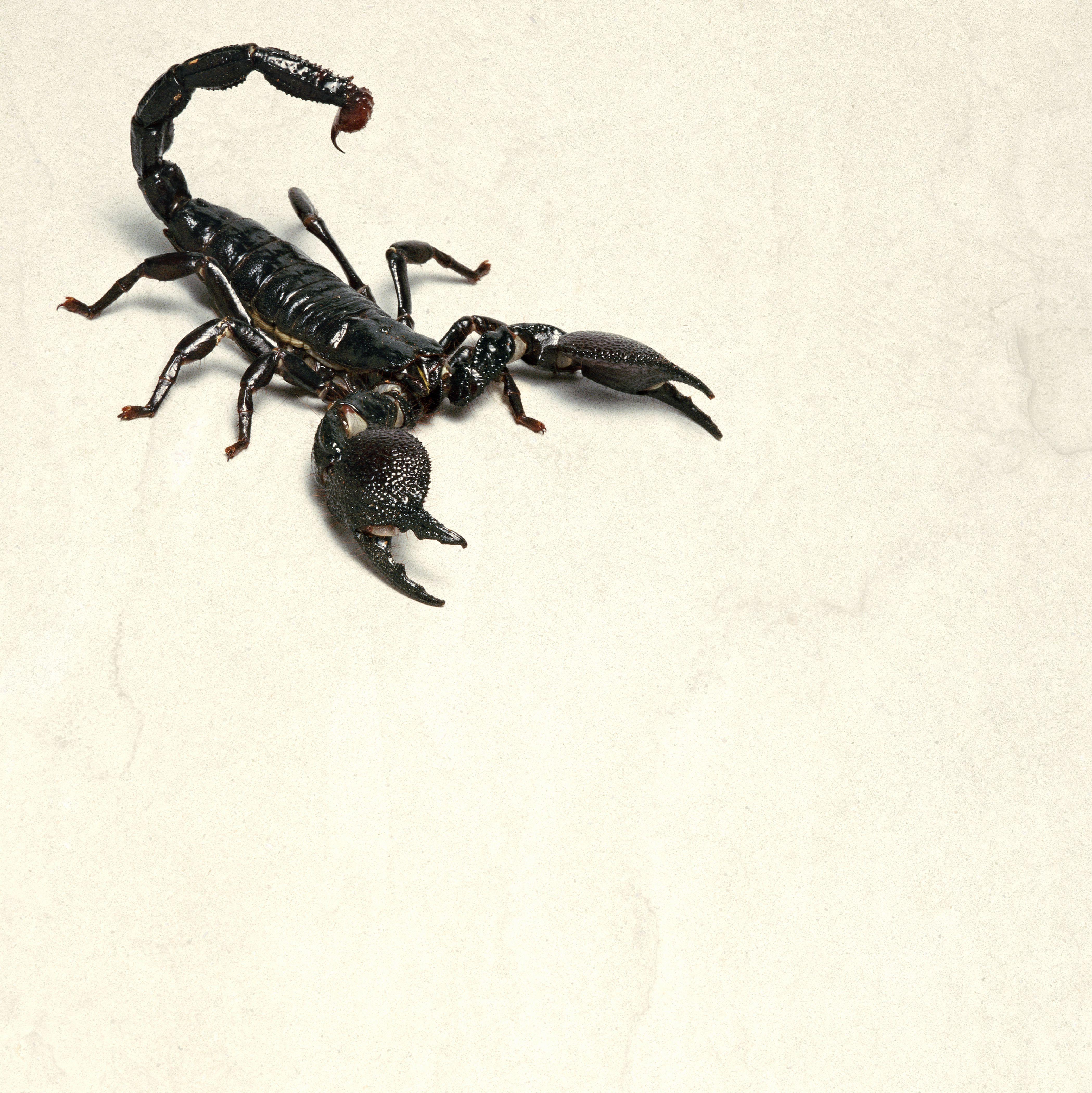 Emperor Scorpions Pet Scorpions Scorpion Care Sheet