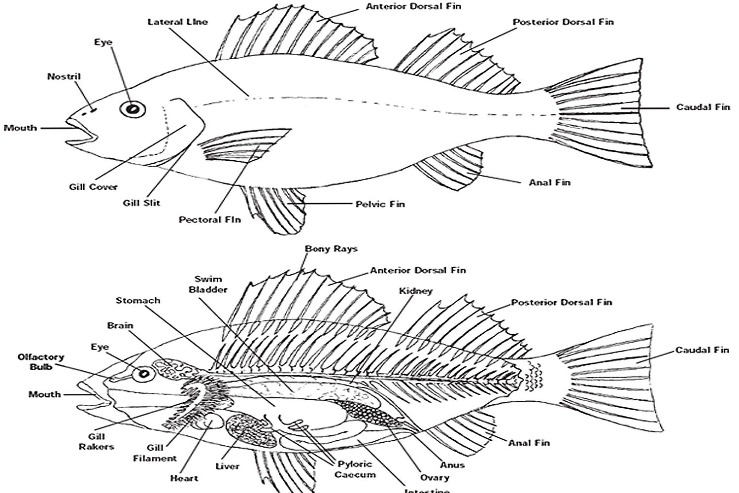 Worksheets Fish Anatomy Worksheet external anatomy of bony fish gallery human learning the how are all same muvagfo gallery