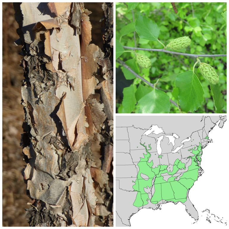 Identifying north american birch trees birch bark leaves fruit and range sciox Gallery