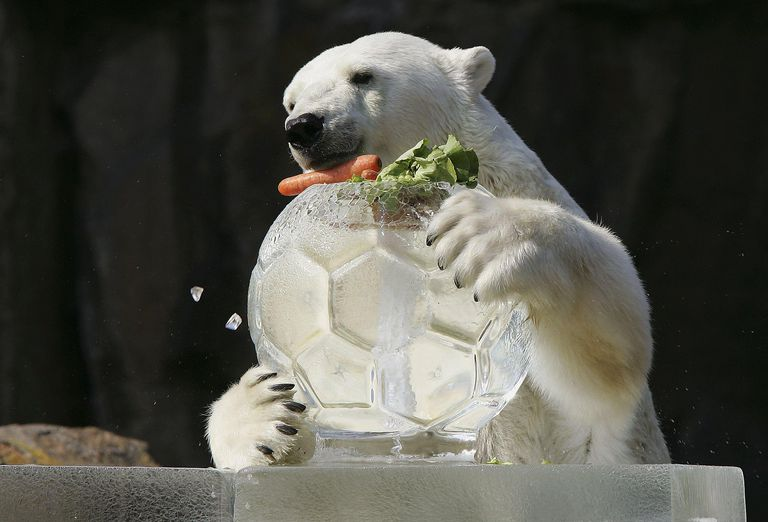 Polar Bears Get Their Meal In A Block Of Ice At Berlin Zoo