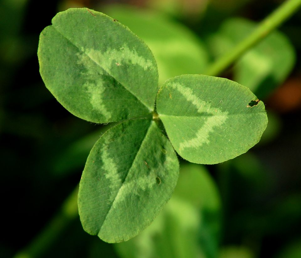 Red clover's leaf (image) is tripartite. This is why St. Patrick could compare it to the Trinity.