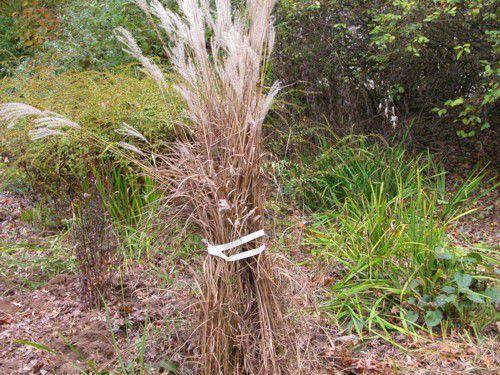 How to cut back ornamental grasses for Easy ornamental grasses