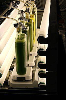 Algae in lab