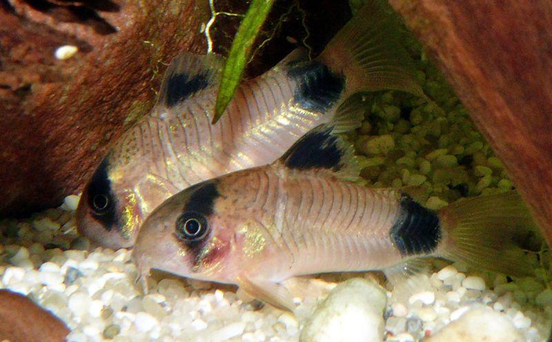 Panda cory catfish for your aquarium for Spring water for fish tank