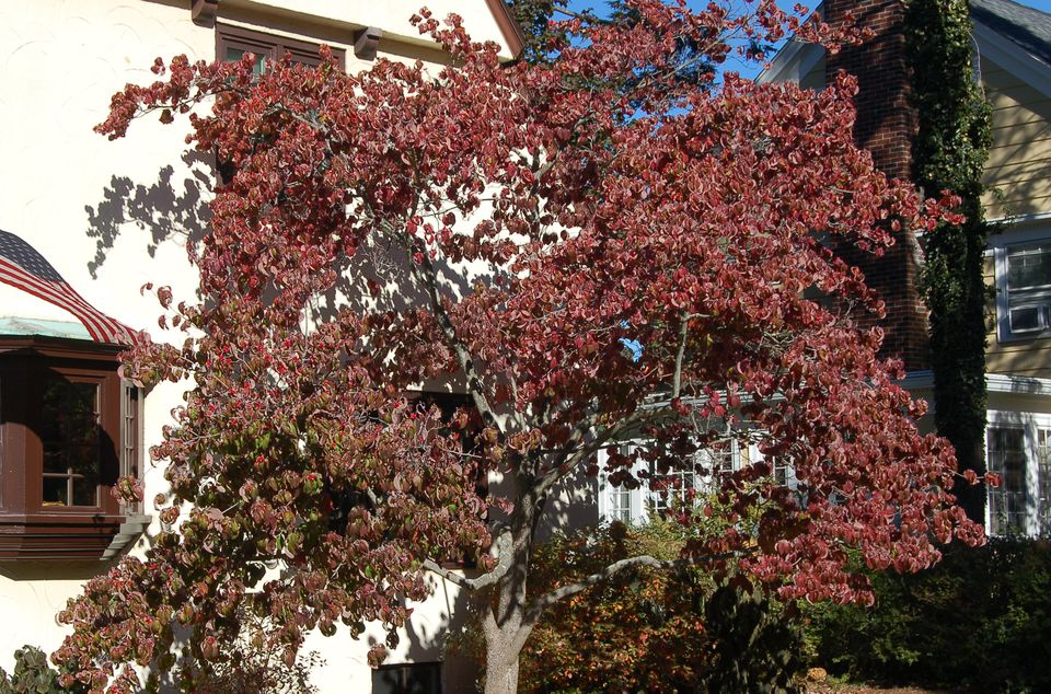 Image of fall foliage of flowering dogwood tree.