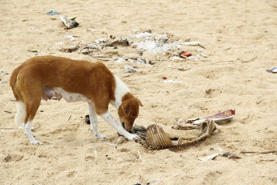 A dog eating the meat of an animal