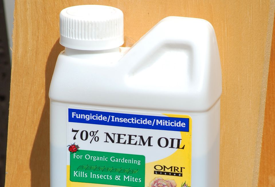 Neem oil comes in a bottle (image) sold at garden centers. Use it to spray bugs organically.