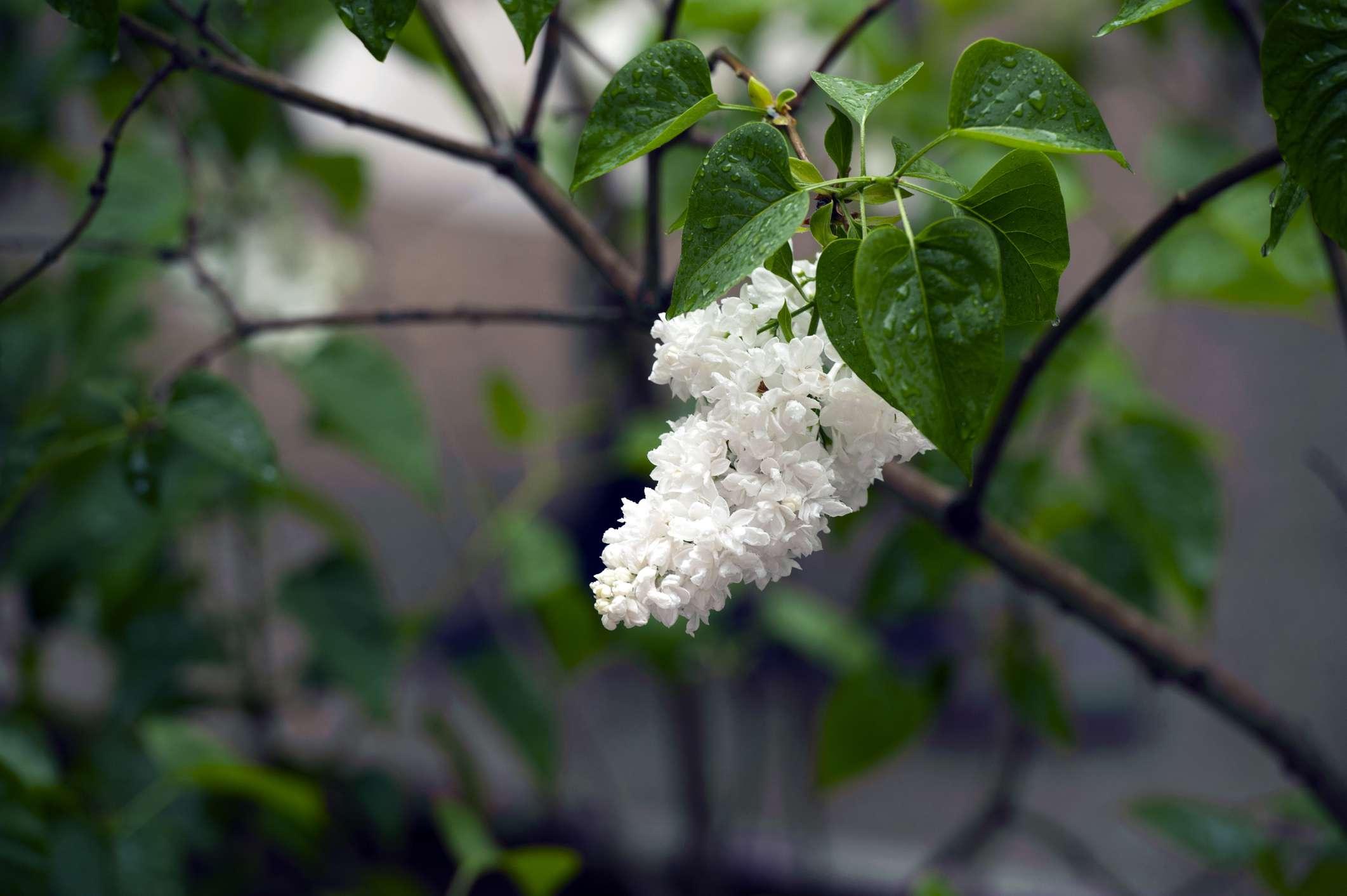 10 best shrubs with white flowers mightylinksfo