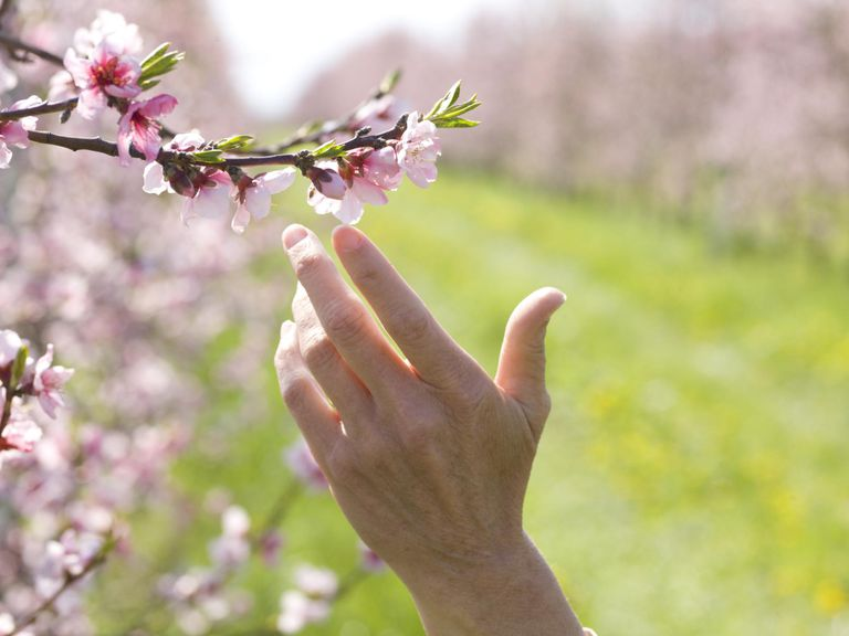 Woman's finger touches cherry blossom,. orchard