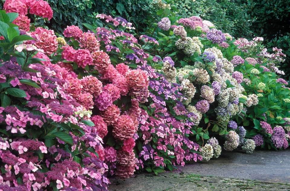 Different varieties of Hydrangea