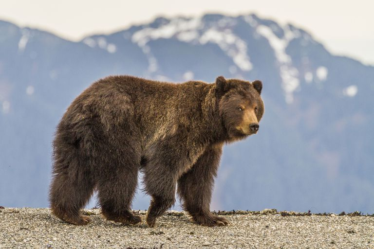 Brown bear on the rocky shore of Pack Creek on Admiralty island, Juneau, Alaska, USA