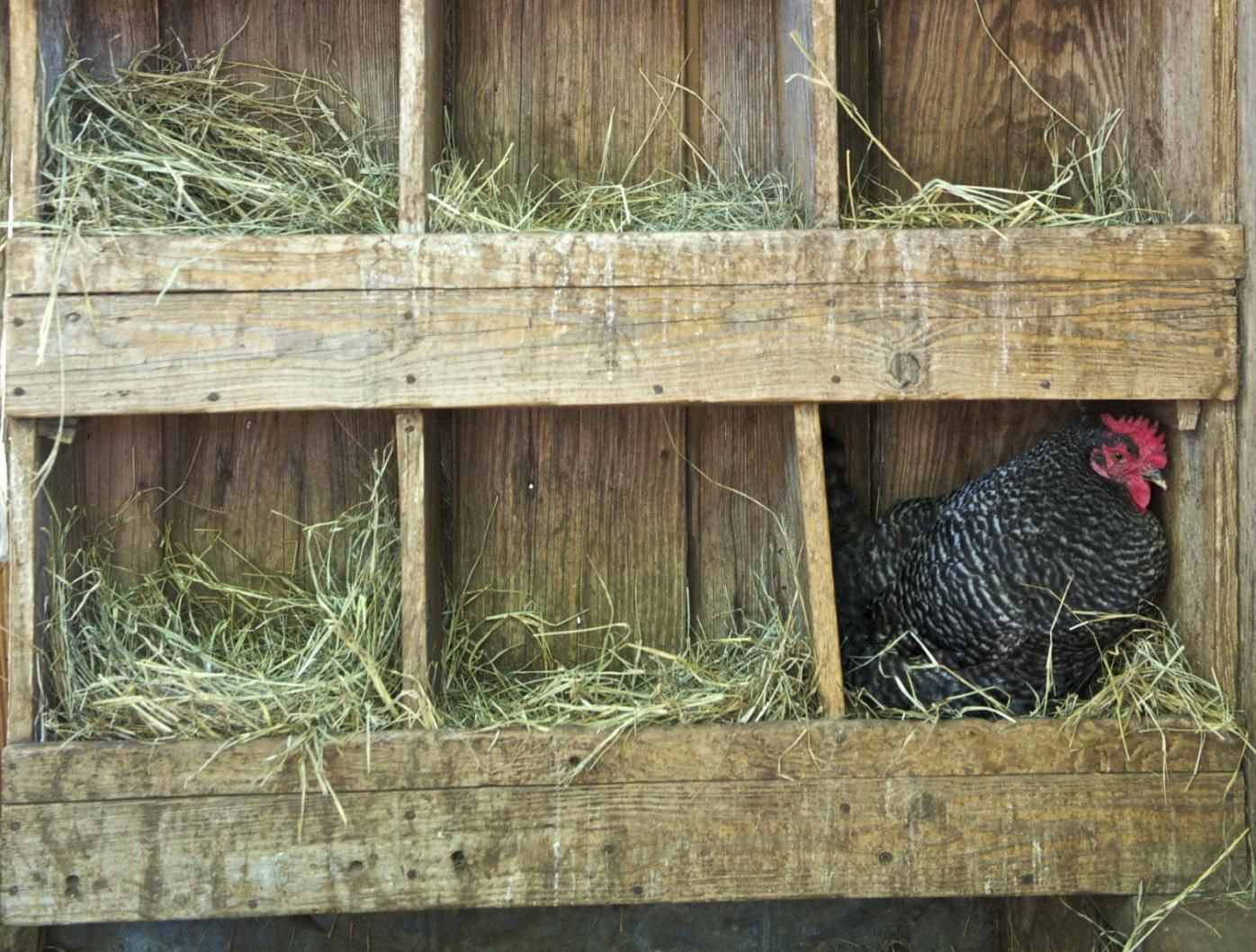 What dating sites do chickens use
