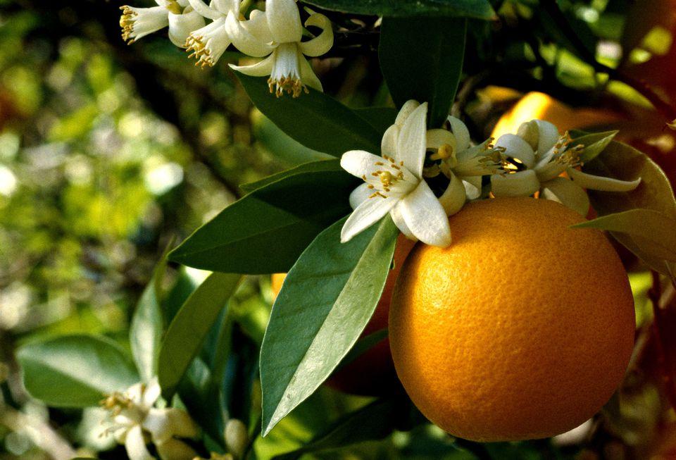 orange and orange blossoms on tree