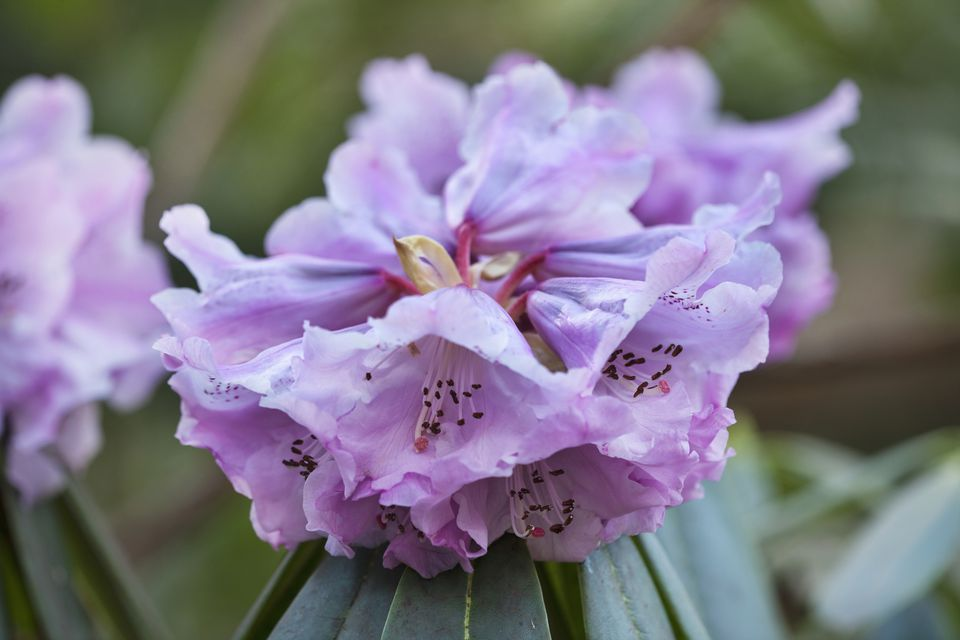 Rhododendron shrub in bloom with lavender flowers.
