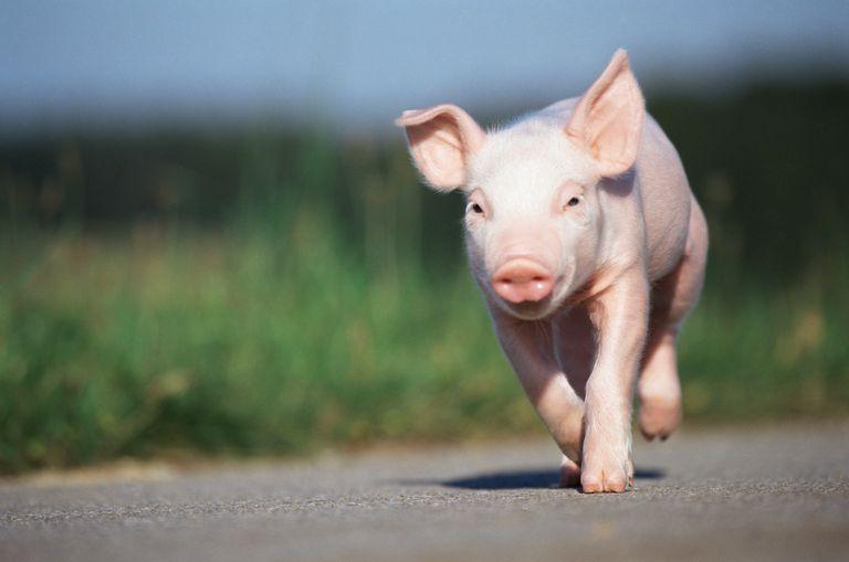 Cerdo corriendo por una carretera
