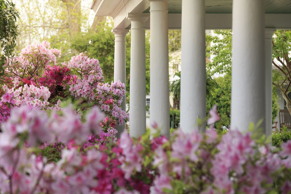 pink azaleas at a grand home