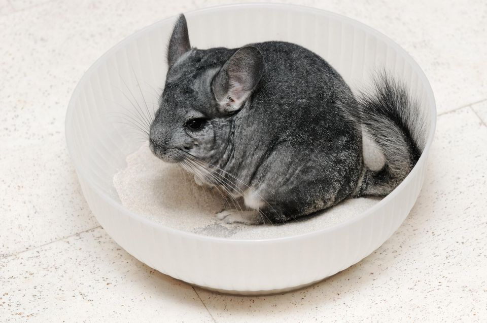 A chinchilla in a bowl of dust