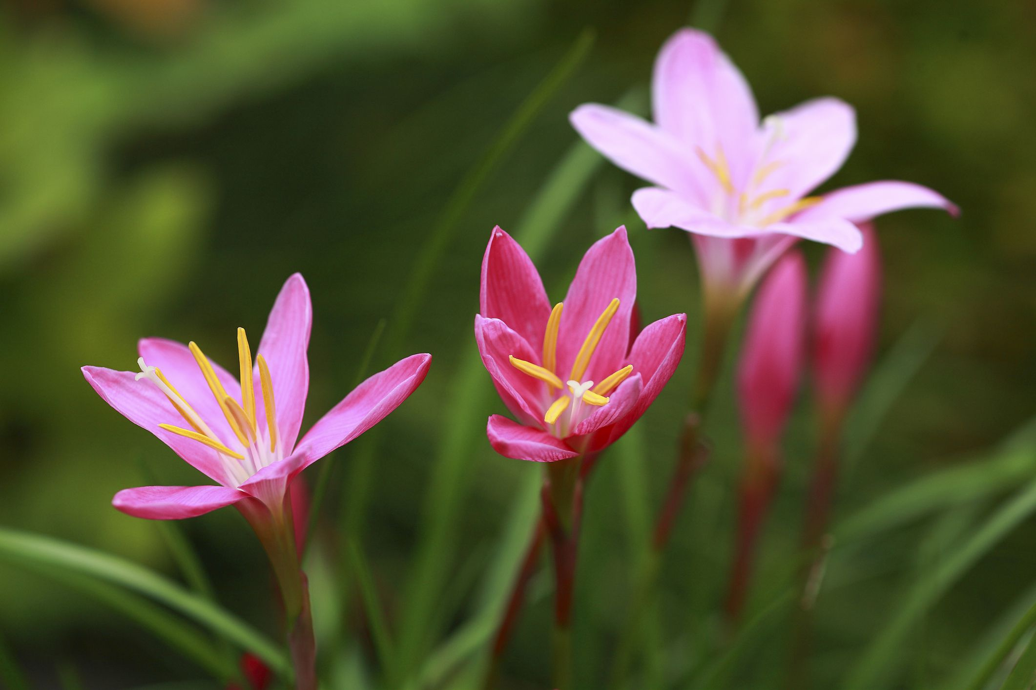 Growing rain lilies in the flower garden izmirmasajfo Images