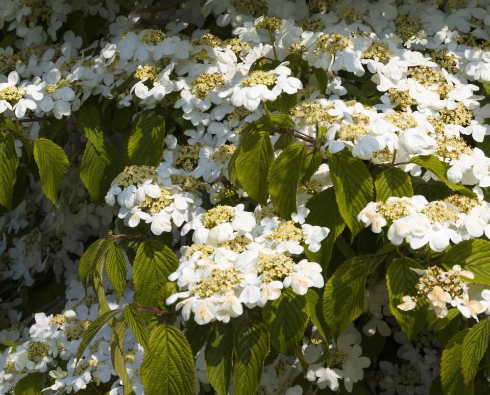 Viburnum plicatum in flower