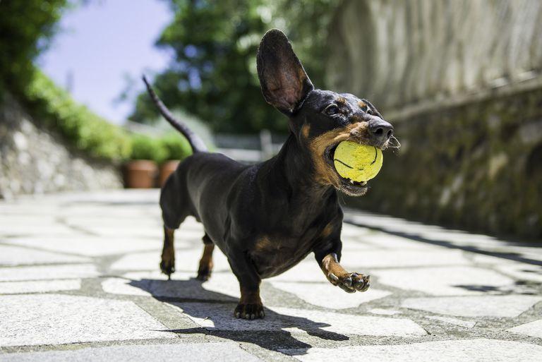 Dachshund with tennis ball