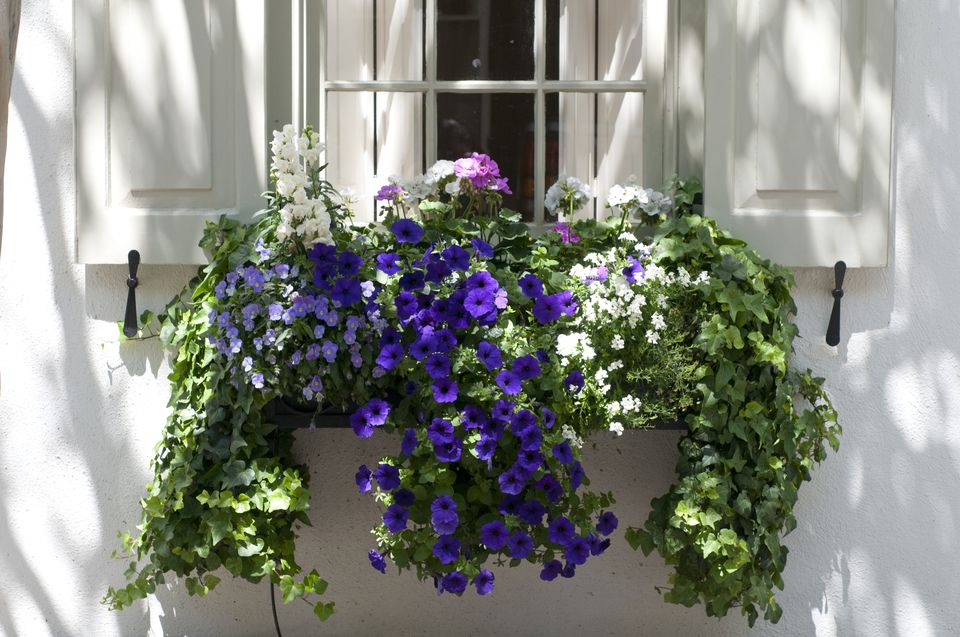 Window box with cordyline, viola, foxtail fern, petunia and ivy