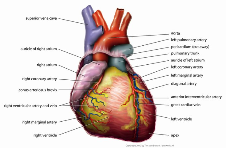 Anatomy of the heart diagram view how the human heart evolved four chambers ccuart Gallery